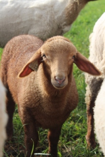 Apollo the ram lamb. Tunis lambs are fast growing and feed efficient.