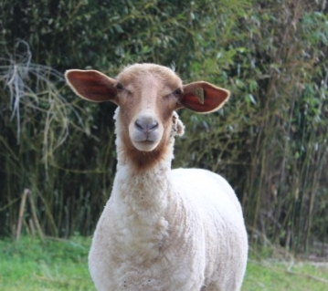 Stella is easily distinguished in the flock by her erect ears and perpetual alertness.