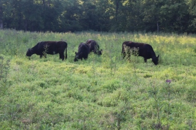 Galloway cattle are thrifty cattle, efficiently converting grass (and weeds!) to meat/muscle.